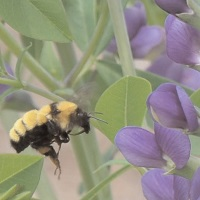 Baptisia photo courtesy of George Coombs